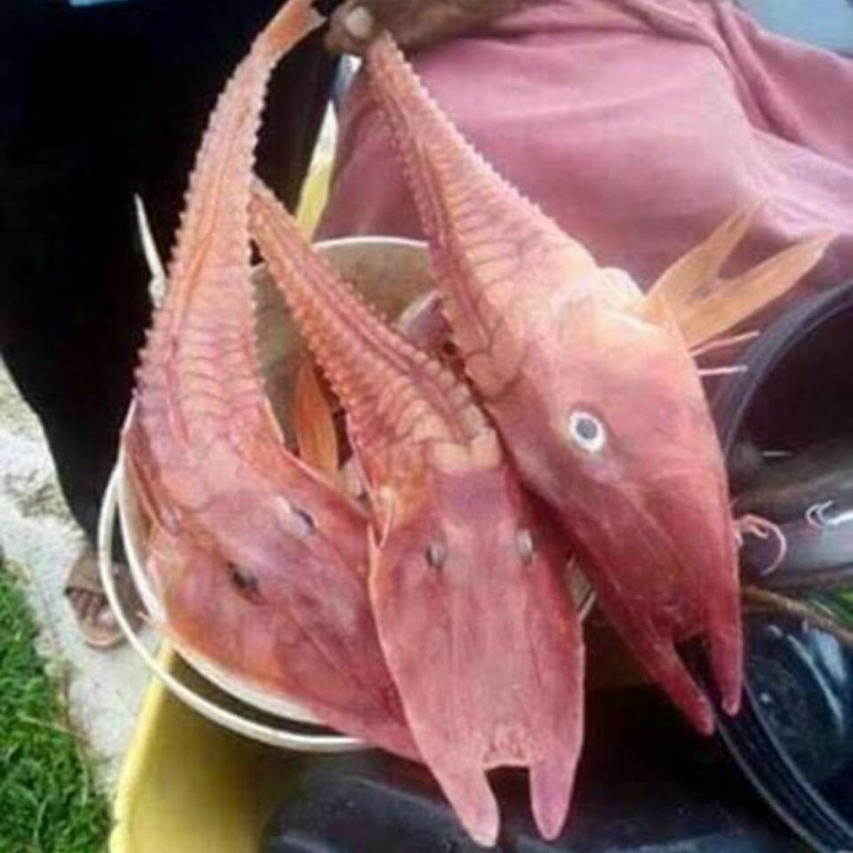 Strange Horned Fish With Legs Found In Darwin Waters