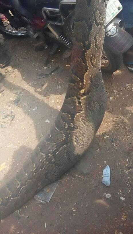 Man Kills Python That Swallowed His Dog In Anambra (2)